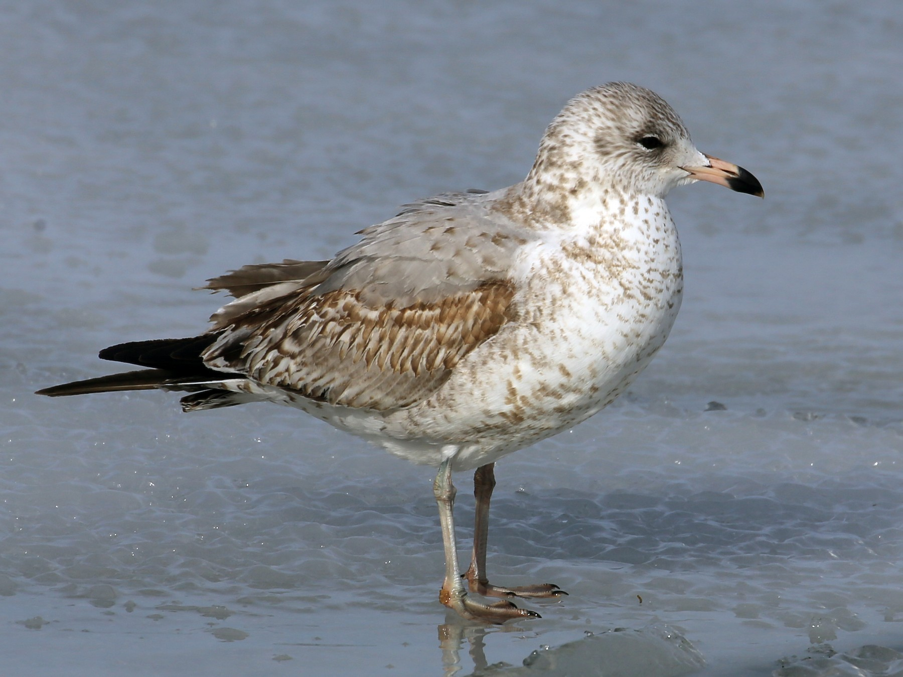 Ring-billed Gull - Brad Walker