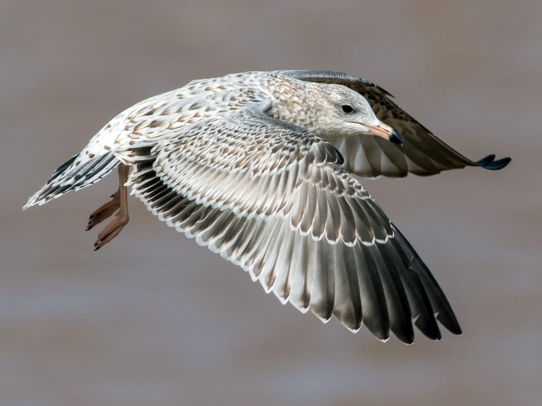 Ring-billed Gull - Tom Reed