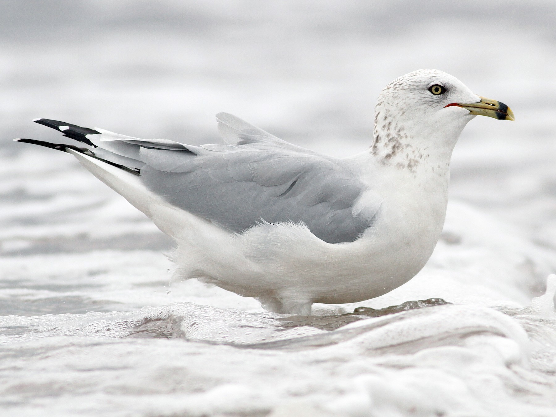 Ring-billed Gull - Evan Lipton