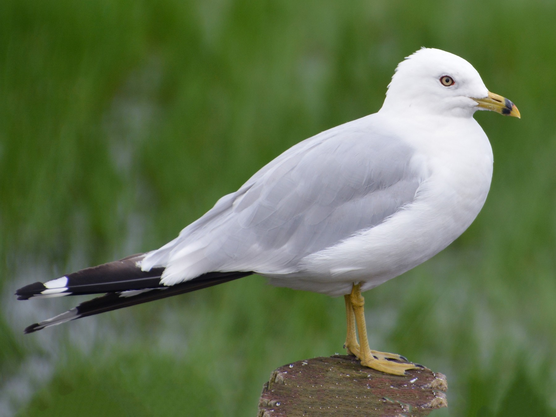 Ring-billed Gull - Jeremy Collison