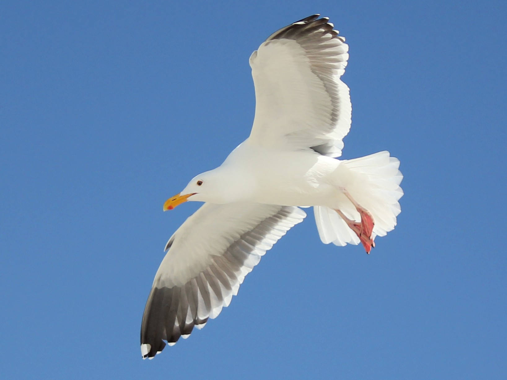 Western Gull - Nick  Rosen