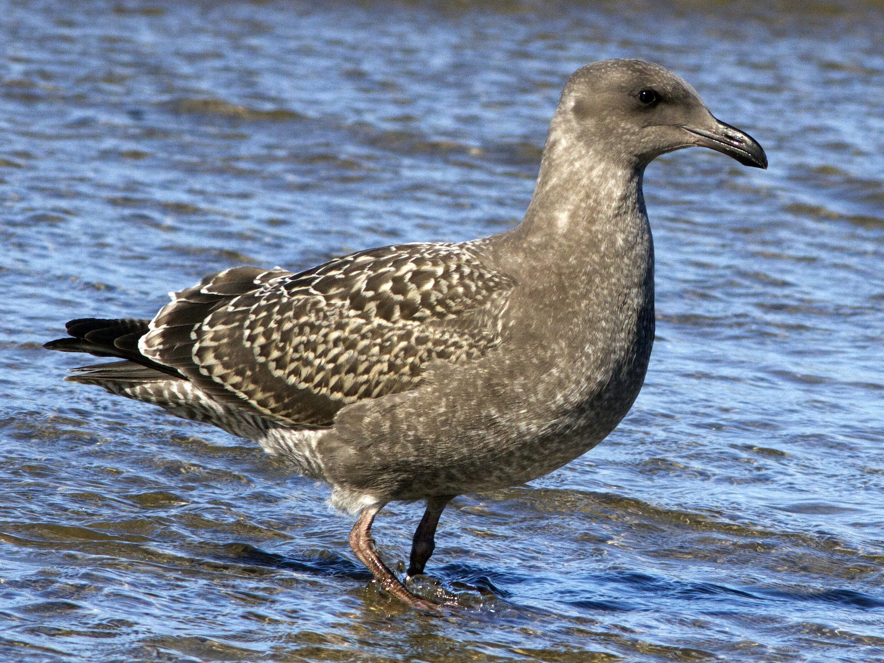 Western Gull - Richard Bunn