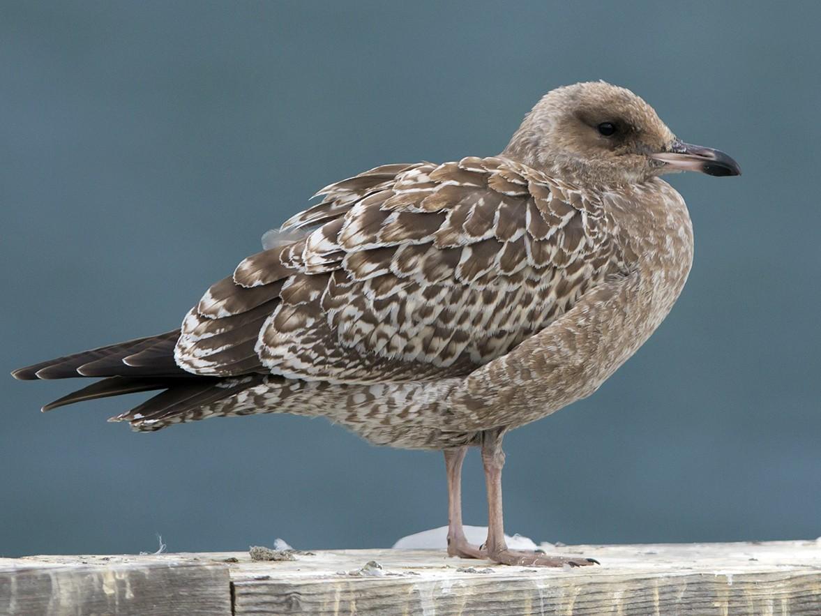 California Gull - Joshua Covill