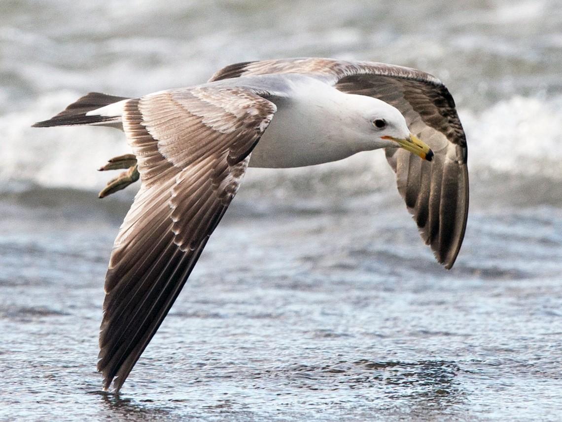 California Gull - Anonymous eBirder