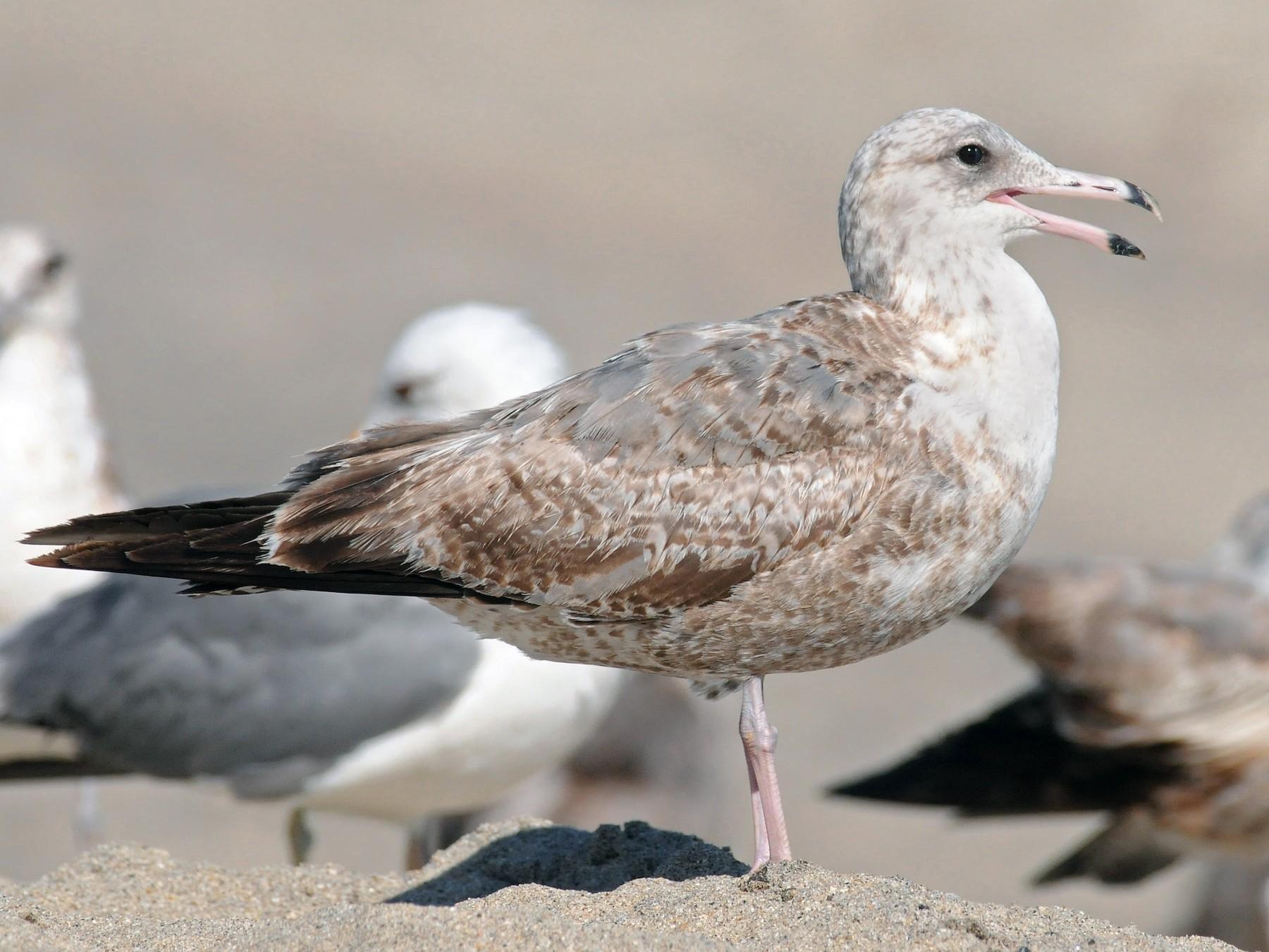 California Gull - Steven Mlodinow