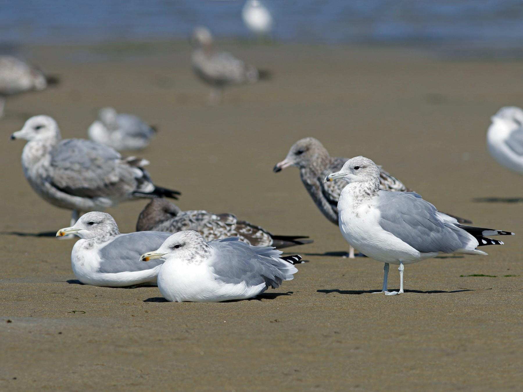 California Gull - John Sullivan