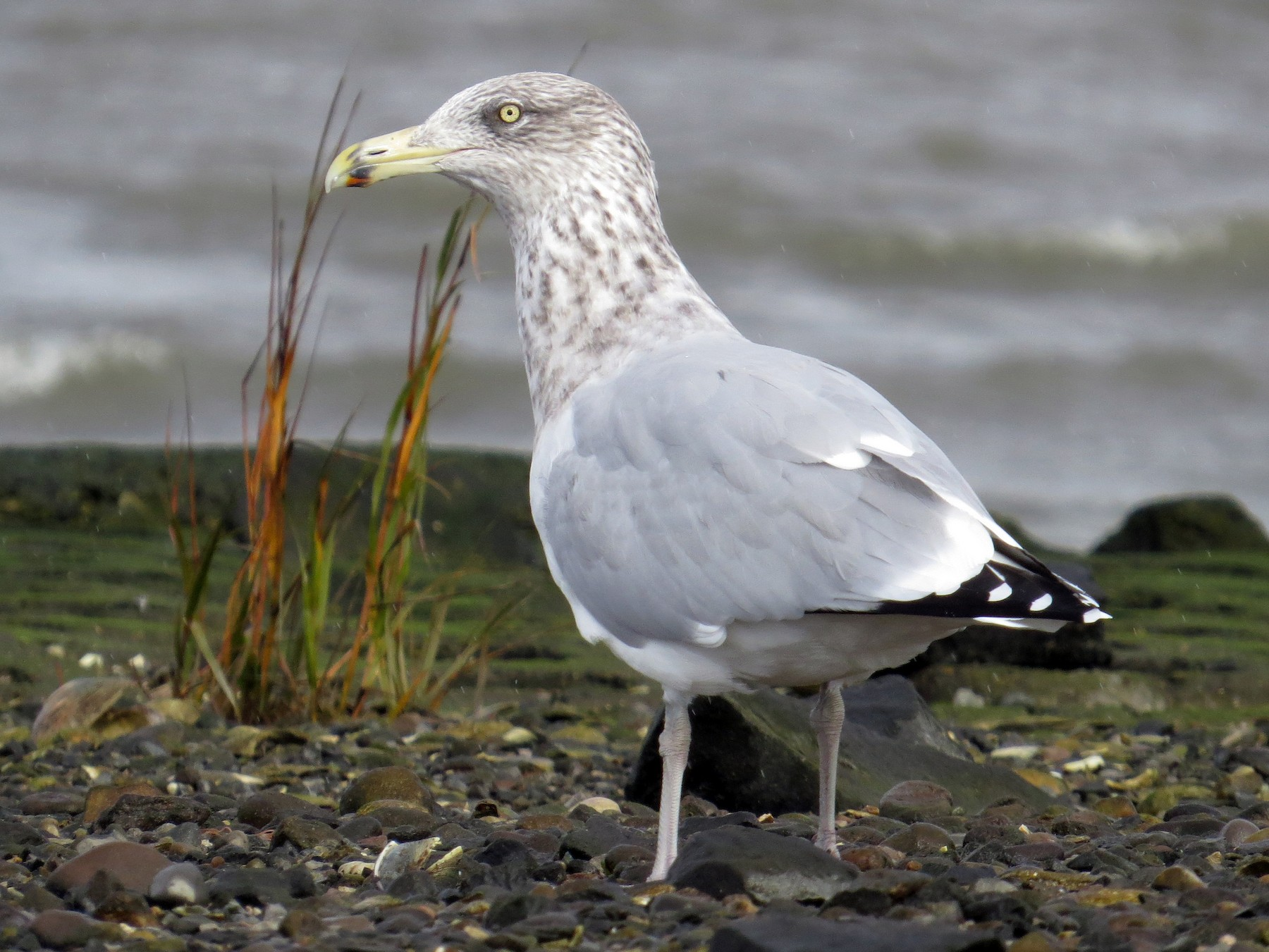Herring Gull - G & B