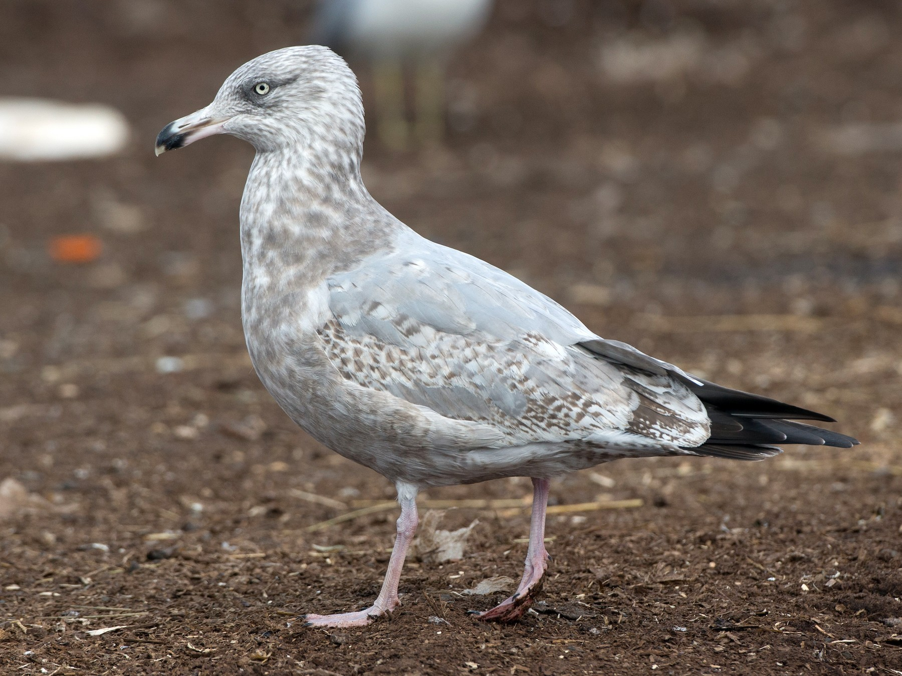 Herring Gull - Chris Wood