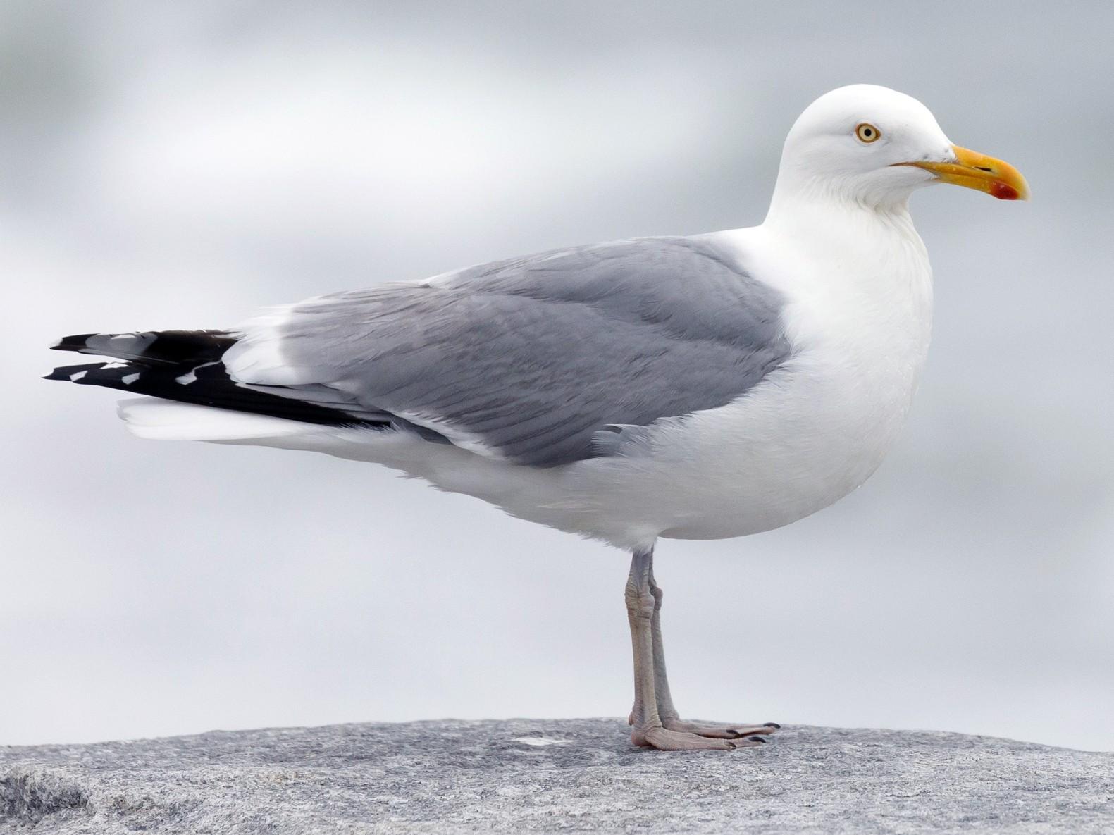 Herring Gull - Darren Clark