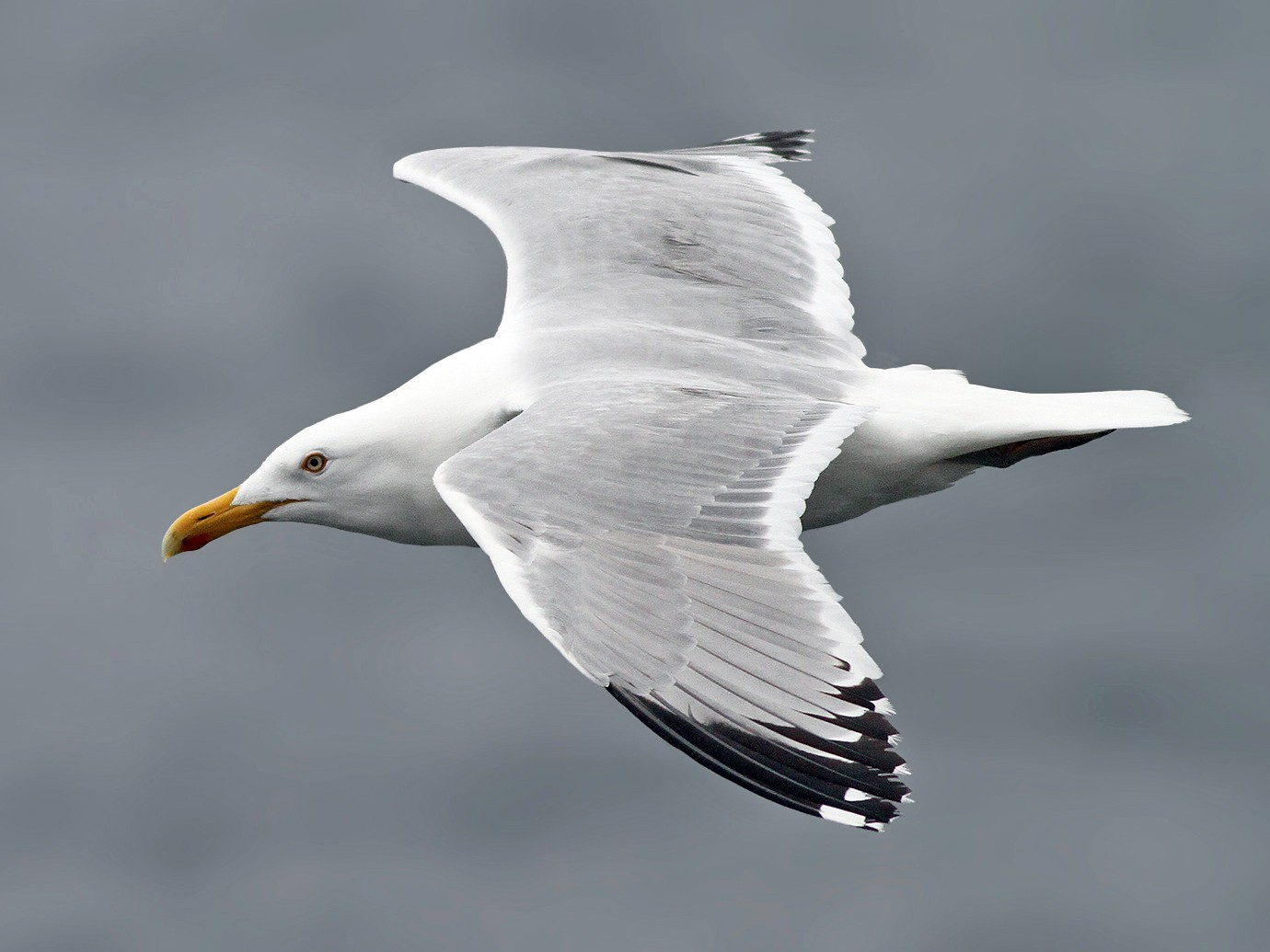 Herring Gull - Jeremiah Trimble