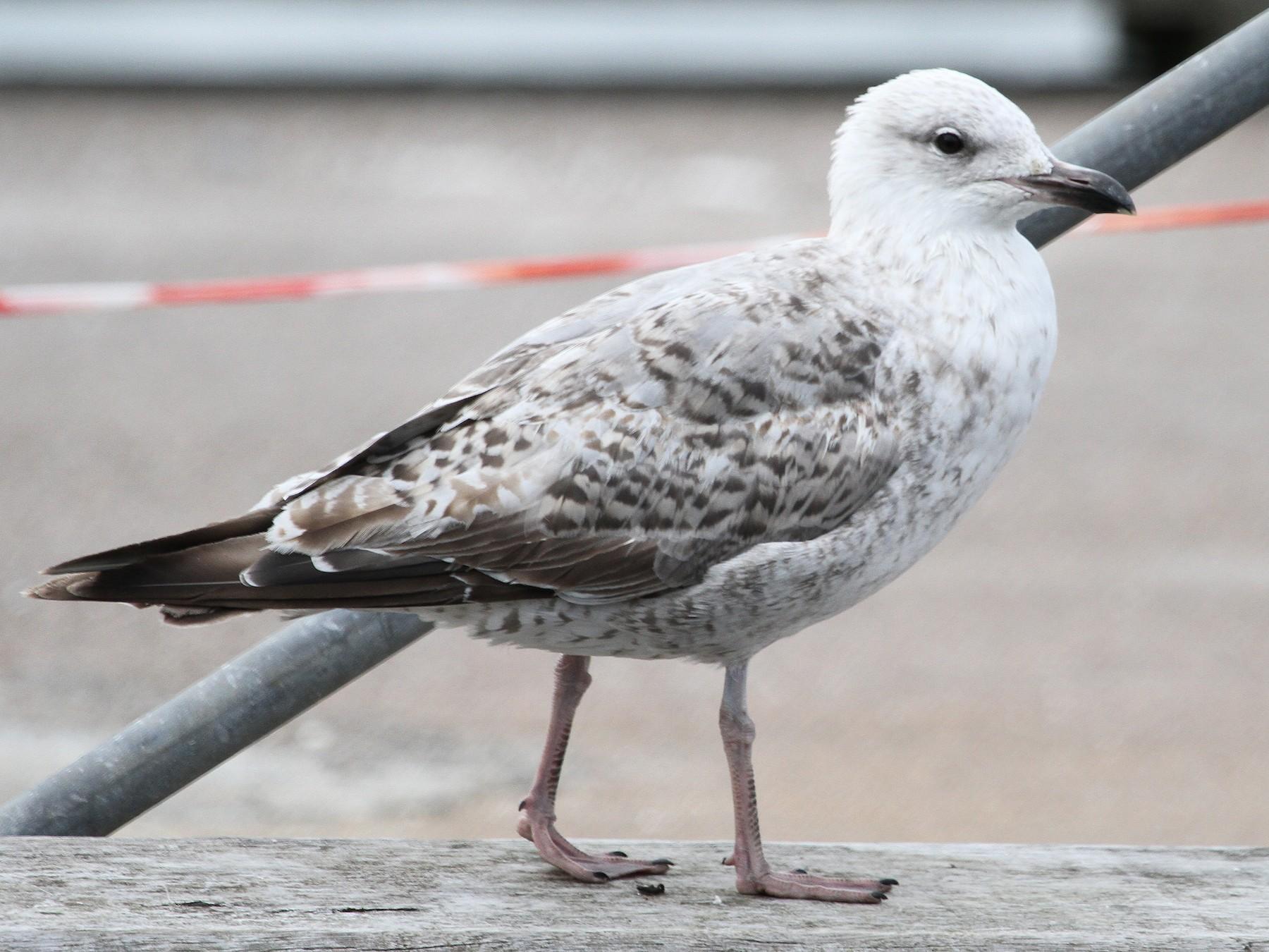 Herring Gull - Anya Auerbach