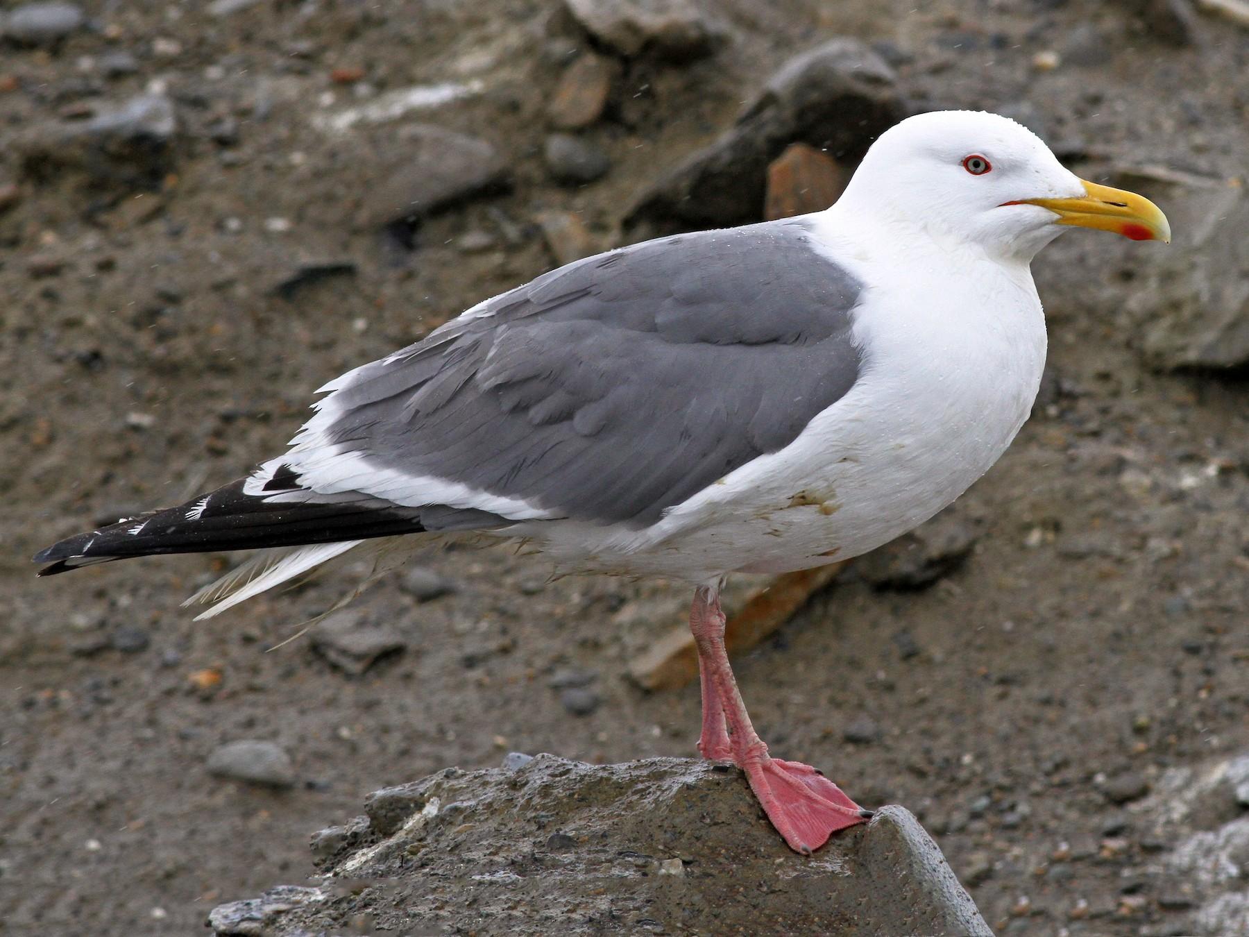 Herring Gull - Ian Davies