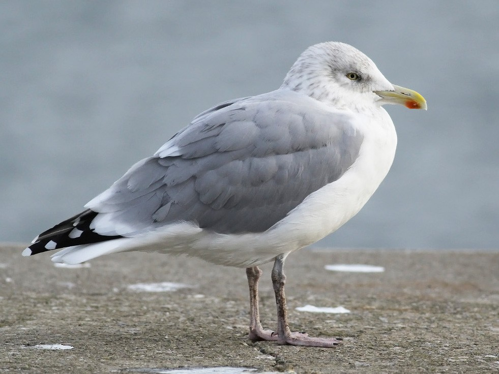 Herring Gull - Adrien Mauss