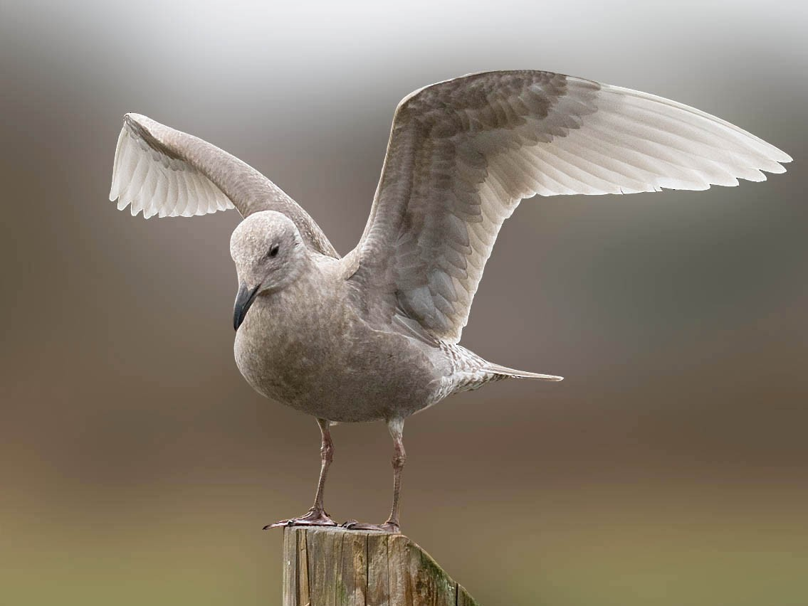 Glaucous-winged Gull - Greg Gillson