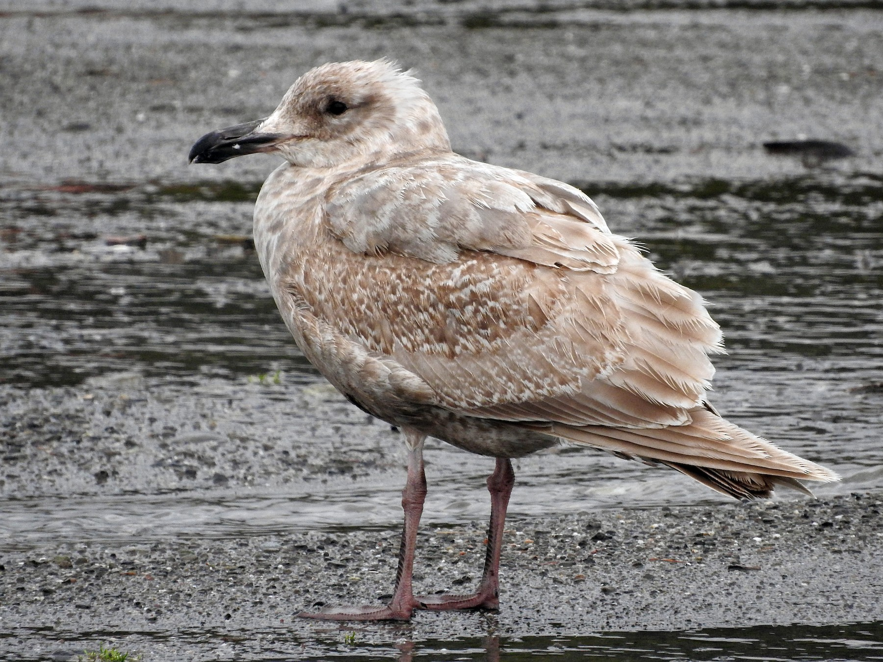 Glaucous-winged Gull - Mark Bartolome Stevens