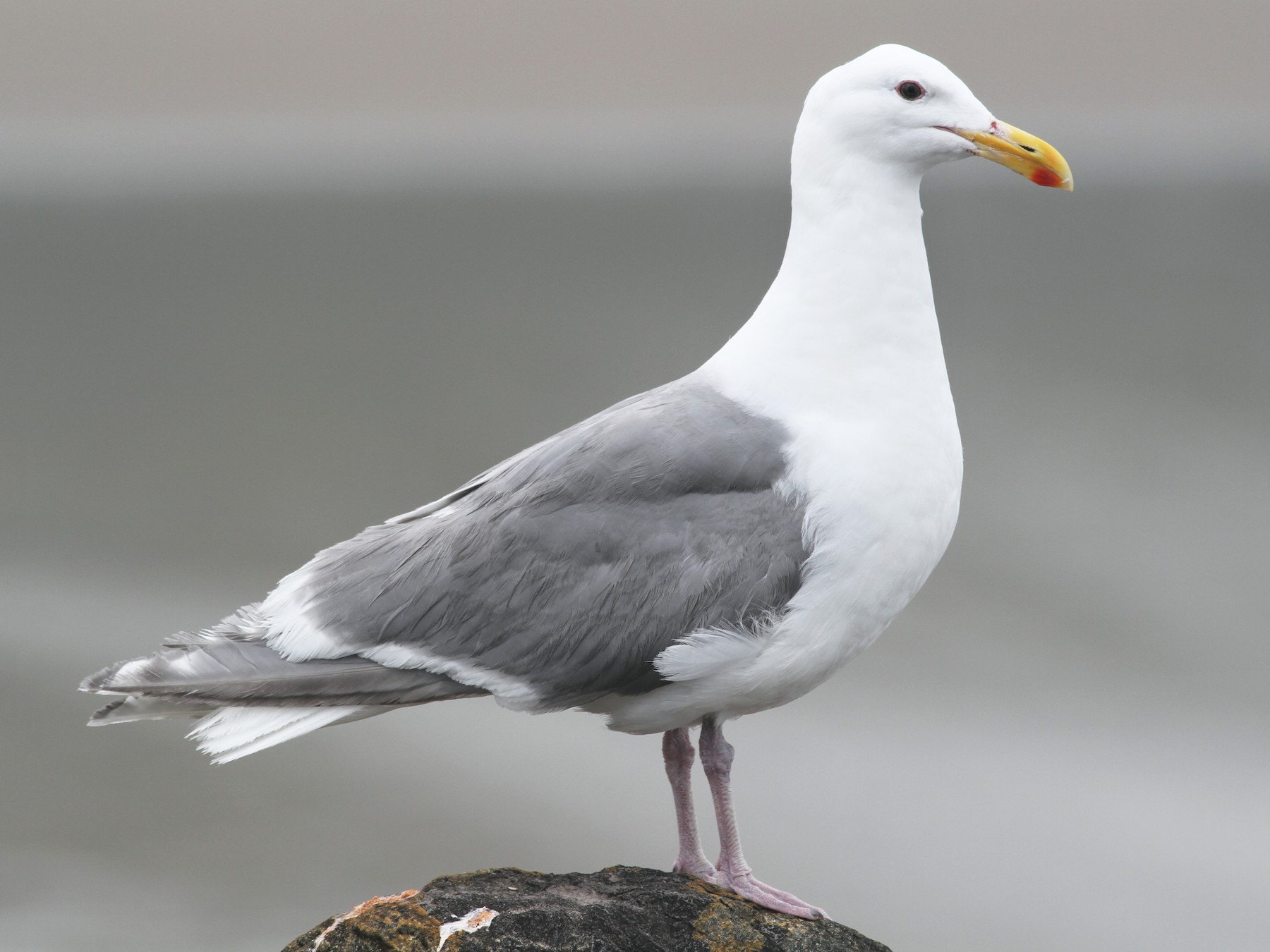 Glaucous-winged Gull - Shawn Billerman