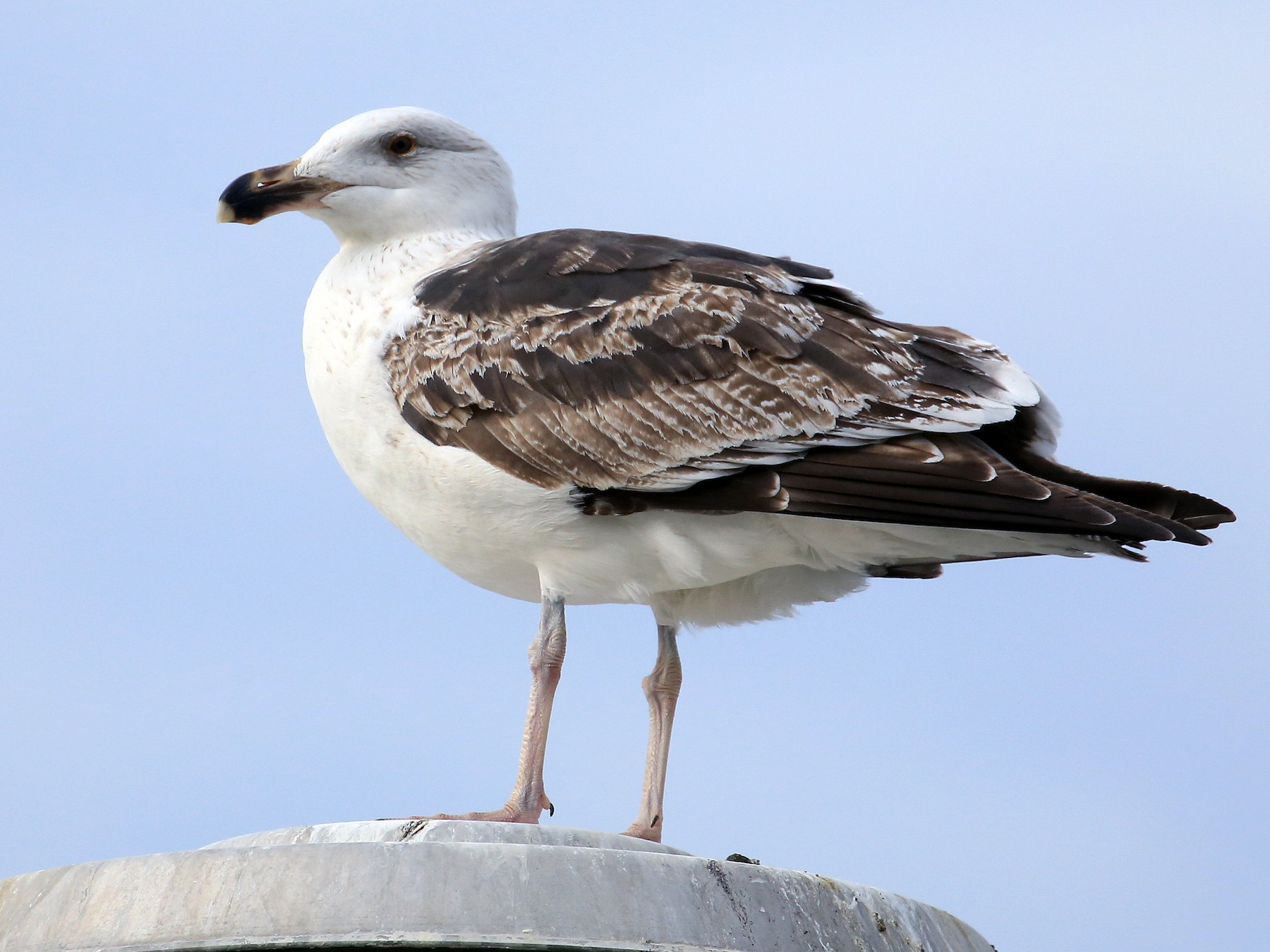 Great Black-backed Gull - Tim Lenz