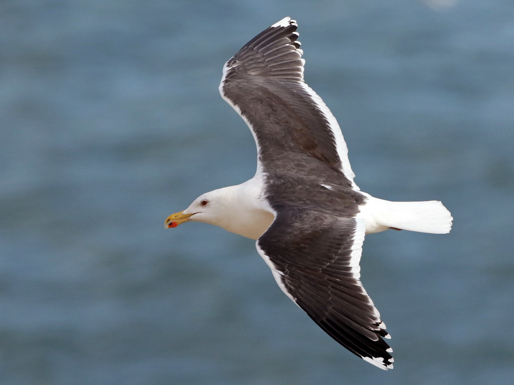 Great Black-backed Gull - Luke Seitz
