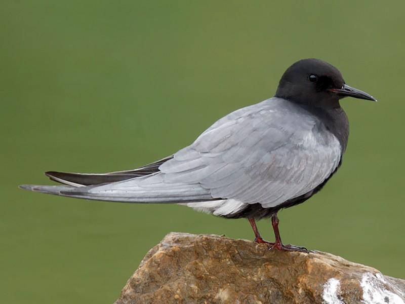 Black Tern - Geoff Malosh