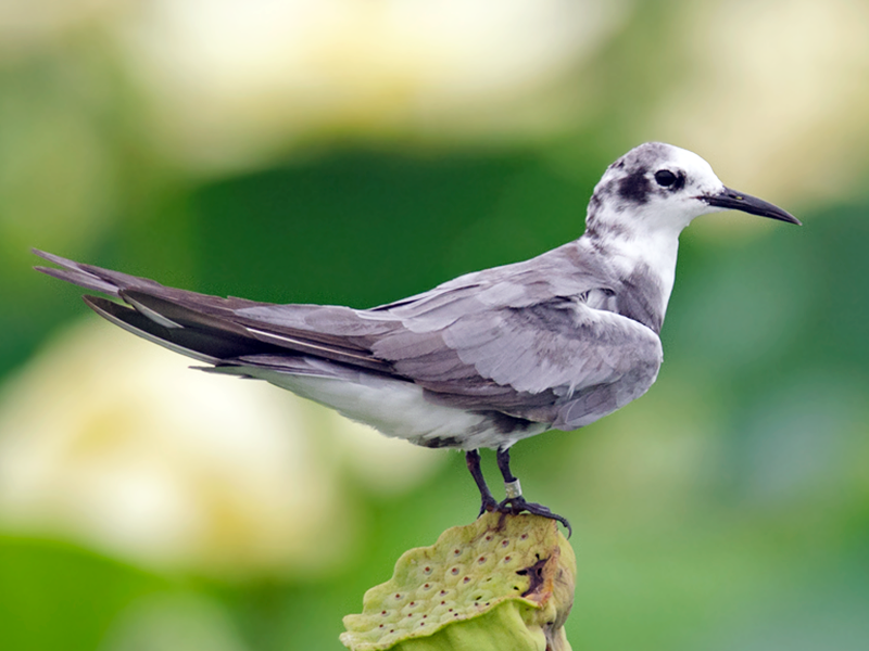 Black Tern - Joshua Vandermeulen