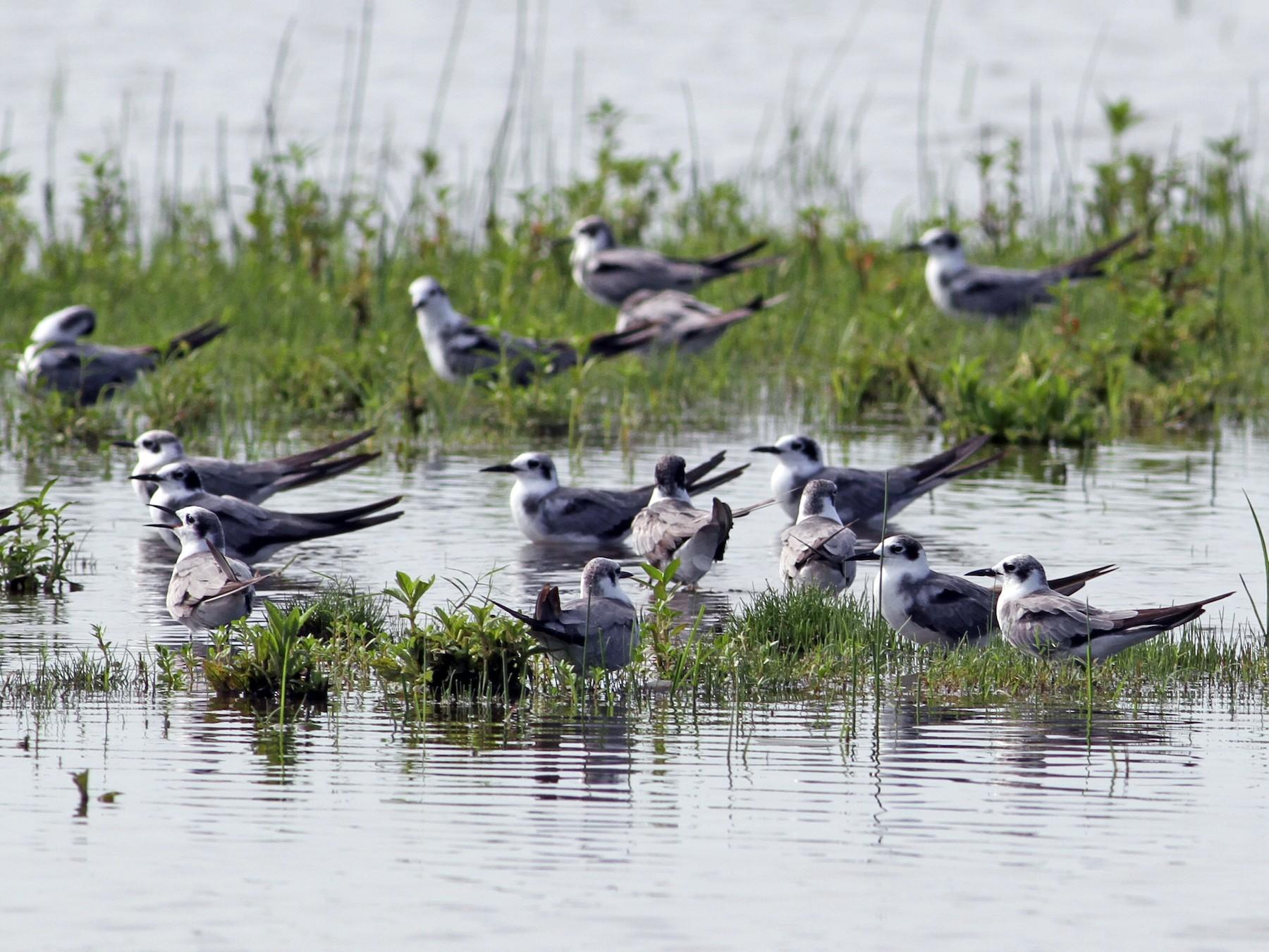 Black Tern - Liliana Chavarria Duriaux