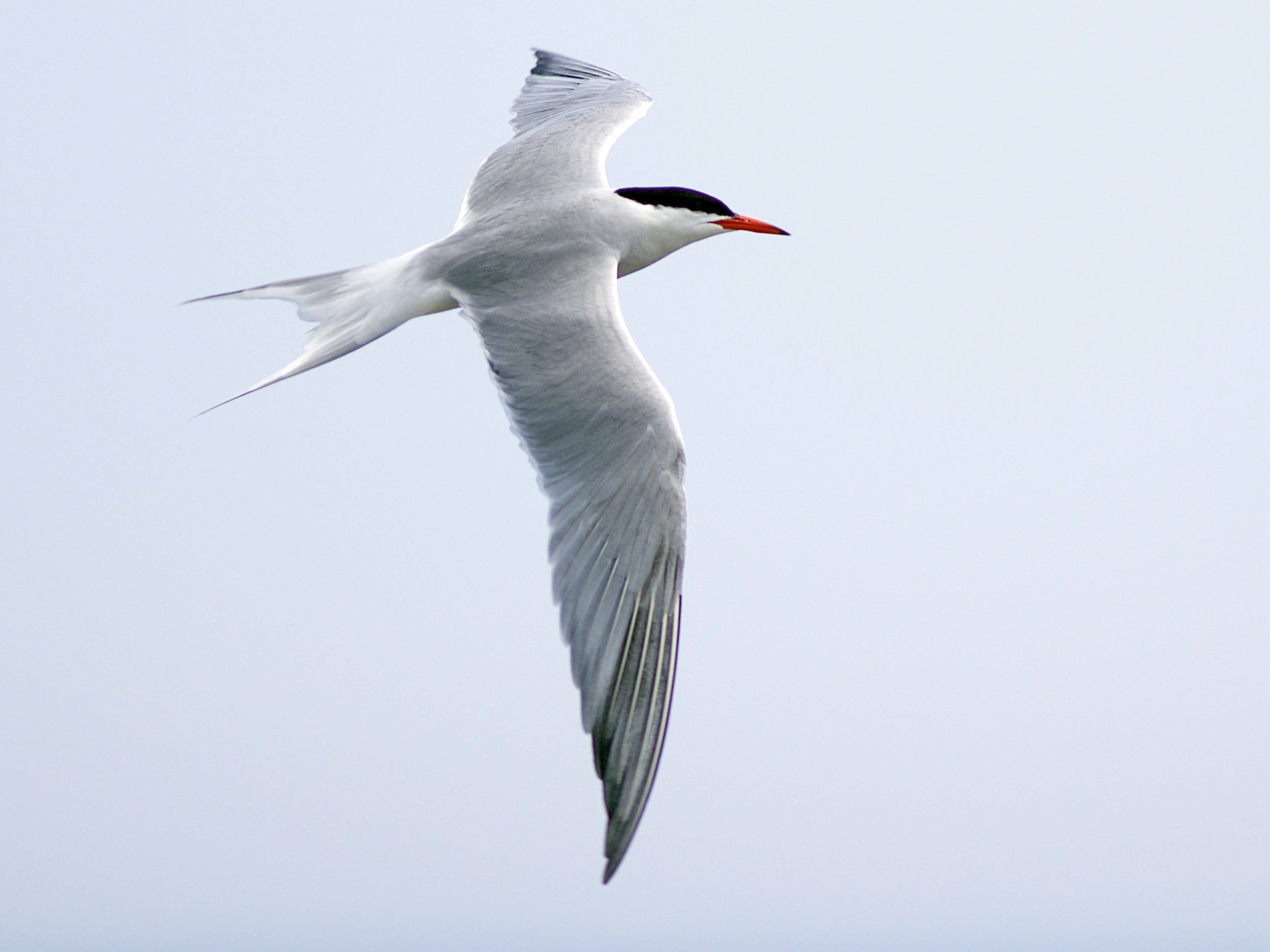 Common Tern - Doug Hitchcox