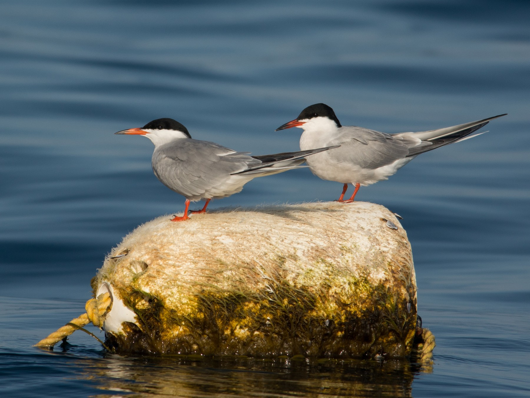 Common Tern - Derek Rogers
