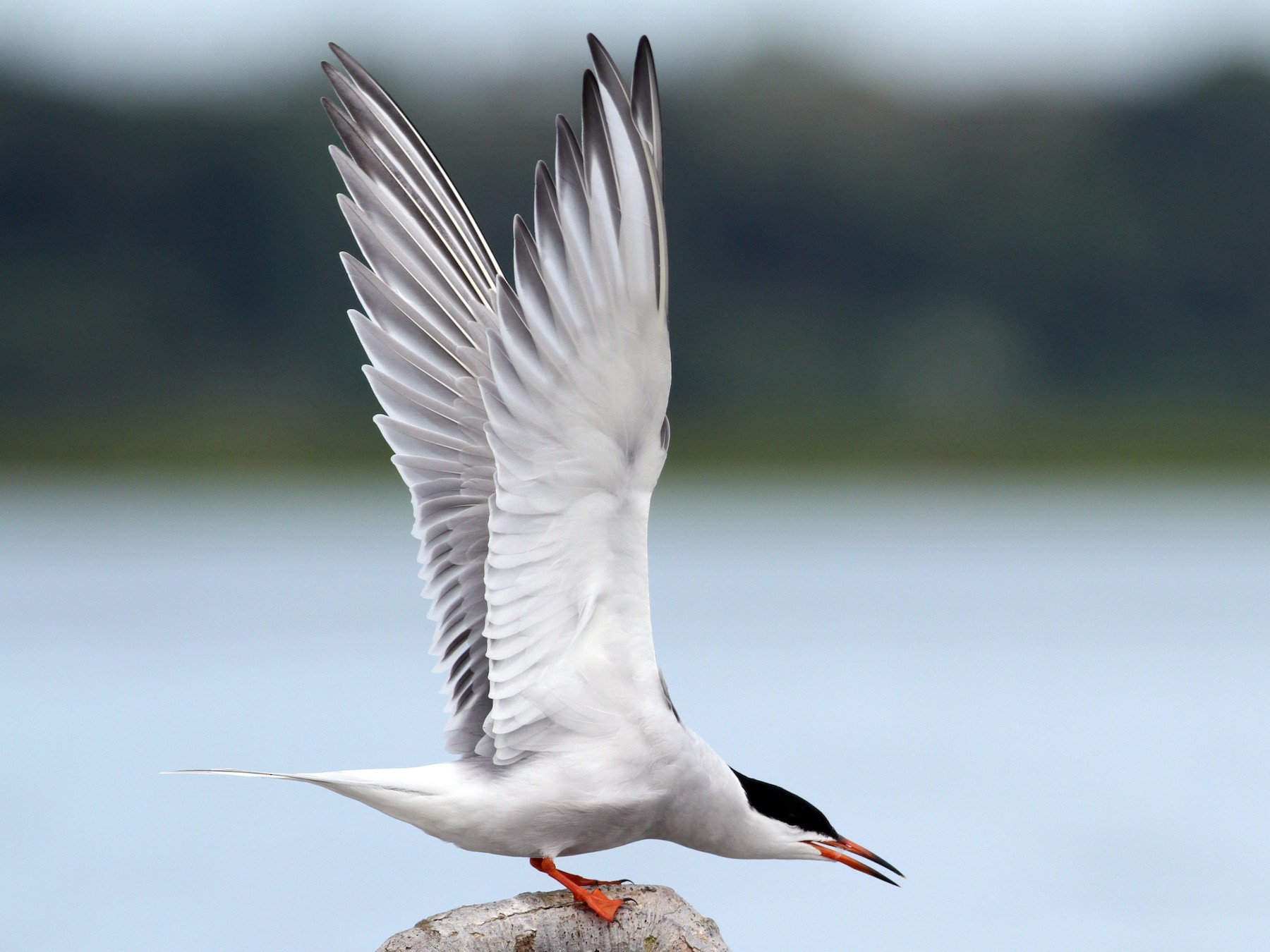 Common Tern - Evan Lipton