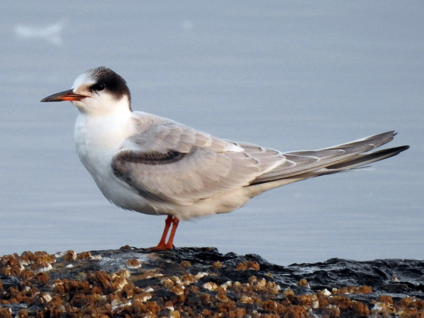 Common Tern - Jody  Wells