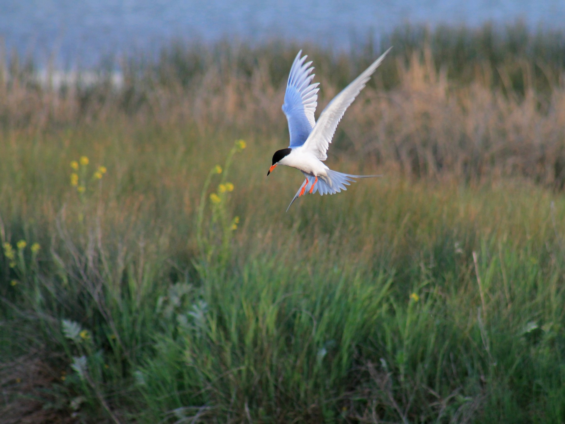 Forster's Tern - R Painter