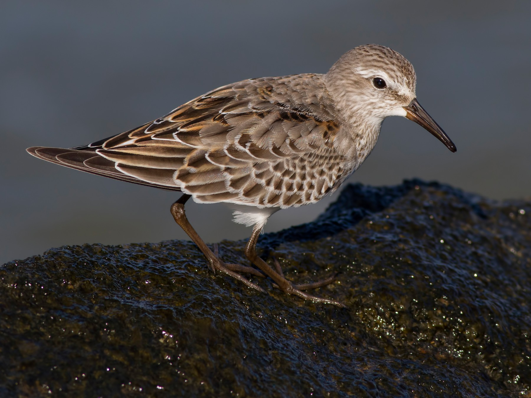 White-rumped Sandpiper - Samuel Paul Galick