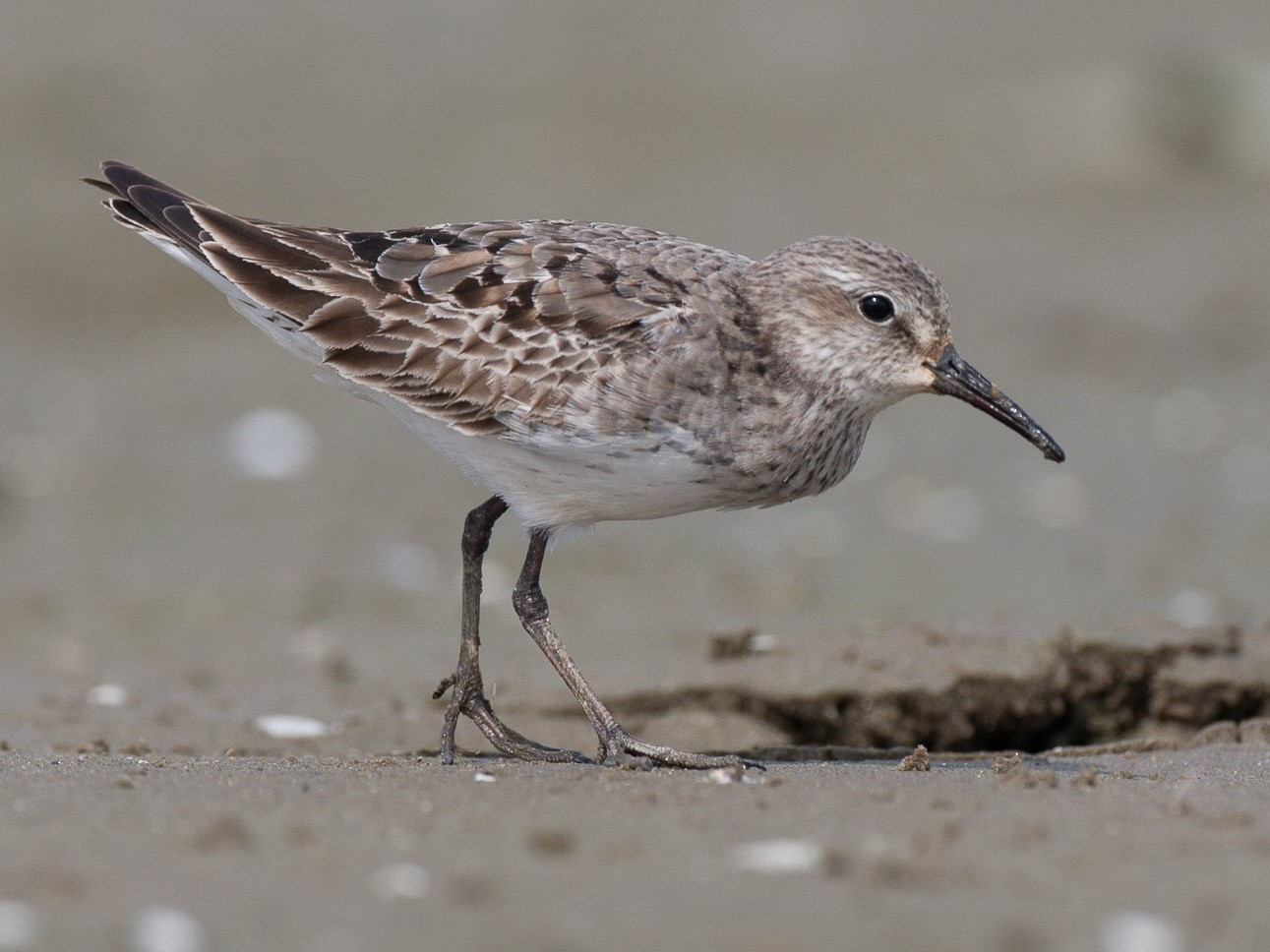 White-rumped Sandpiper - Chris Wood