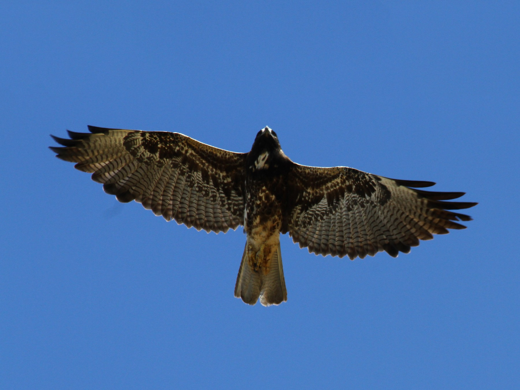 White-tailed Hawk - Carlos Funes