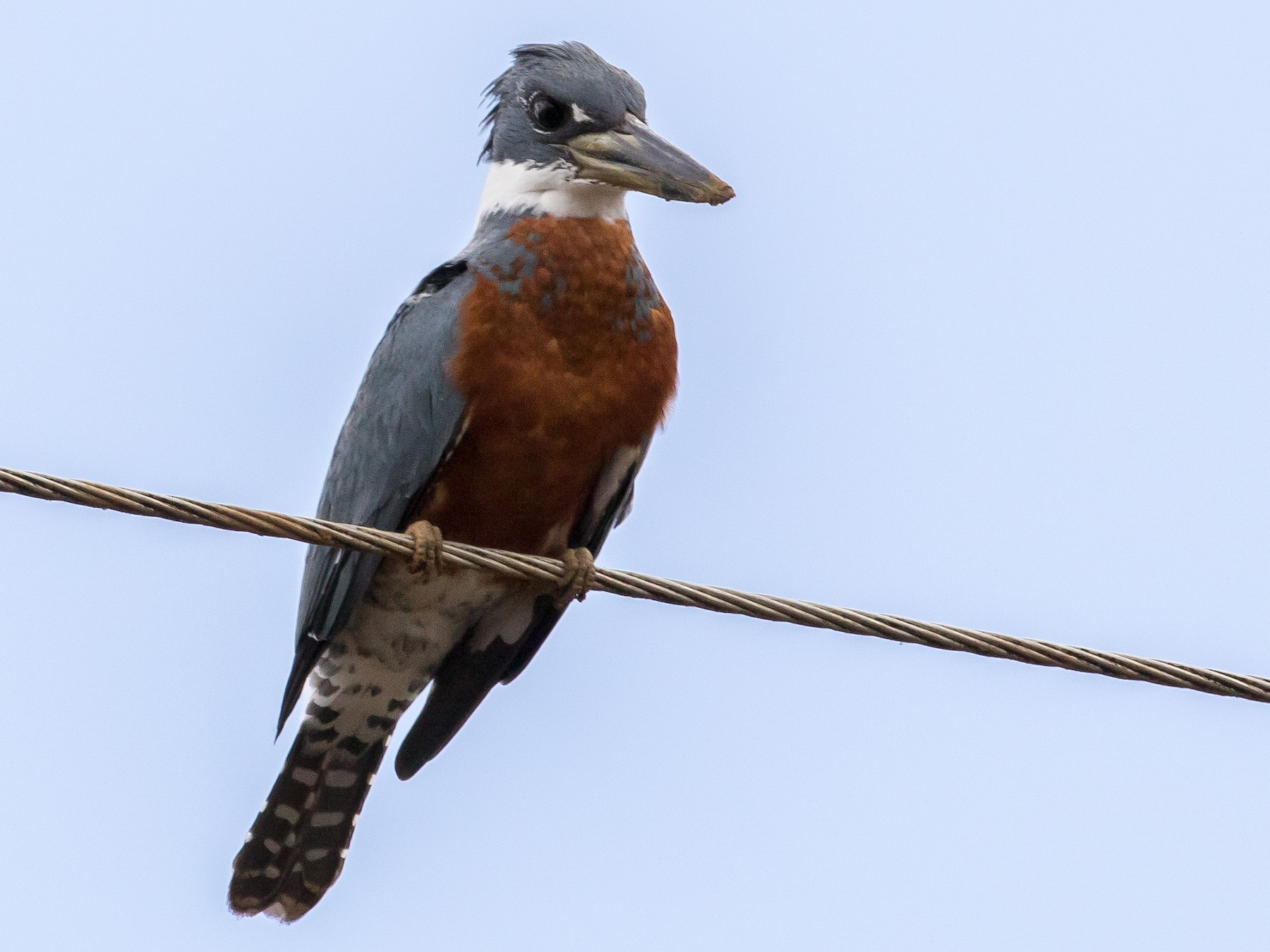 Ringed Kingfisher - Ian Burgess