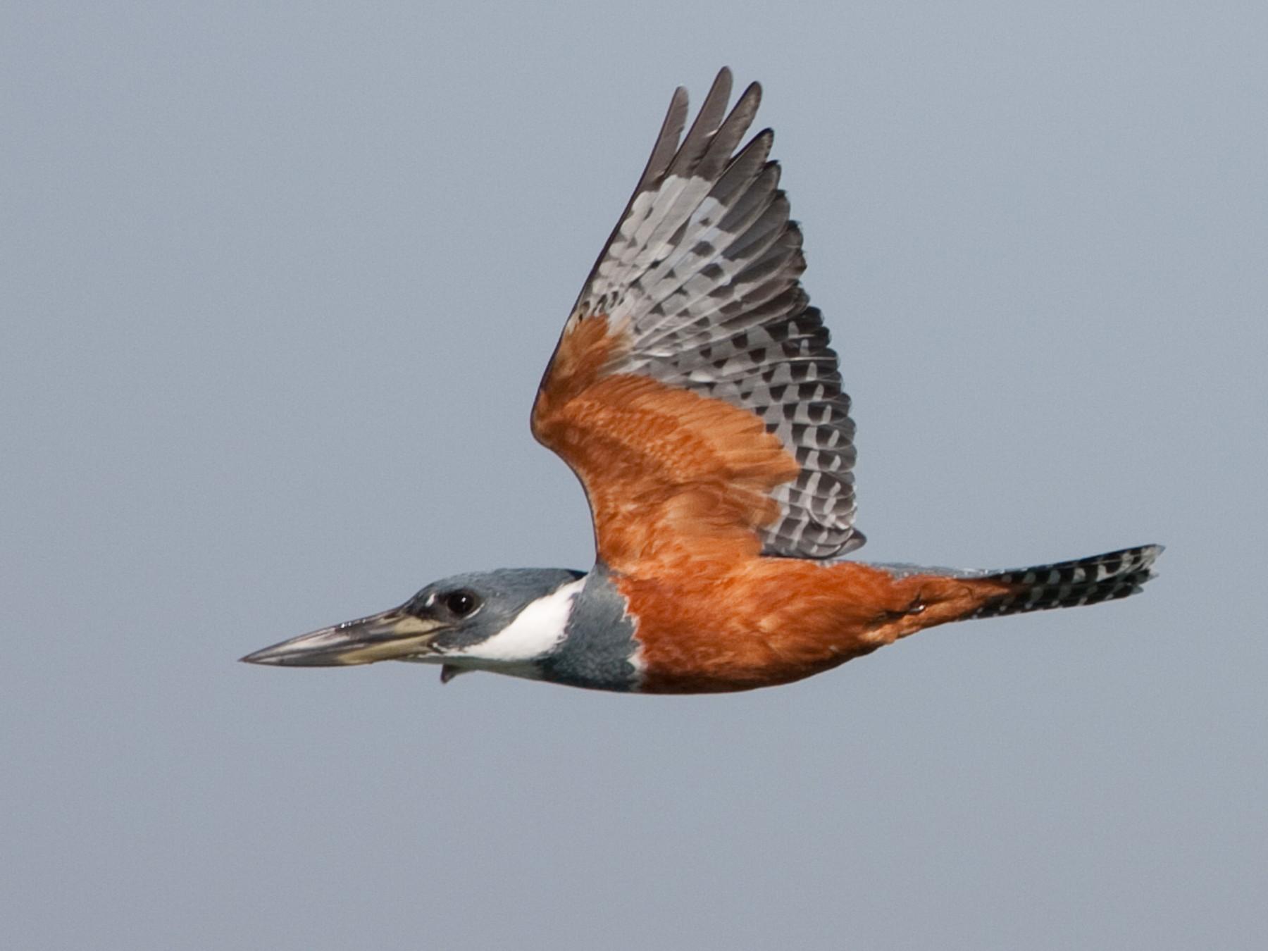 Ringed Kingfisher - Brian Sullivan