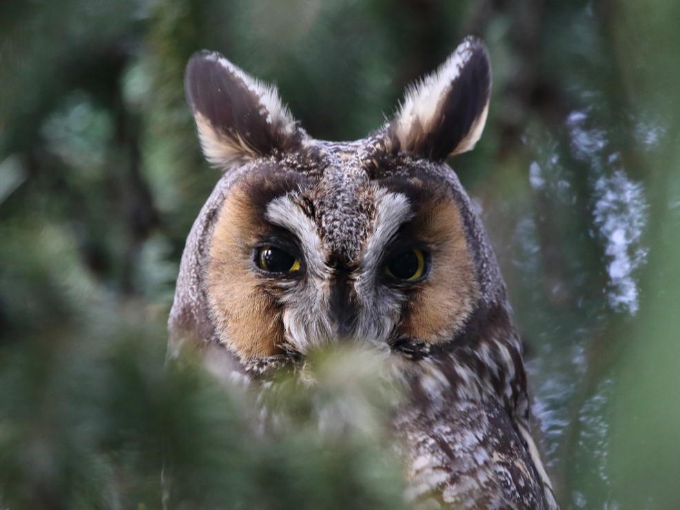 Long-eared Owl - Jeff Bryant