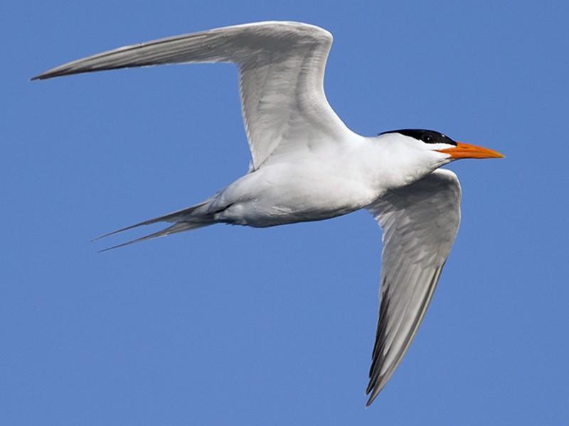 Royal Tern - Martin Wall