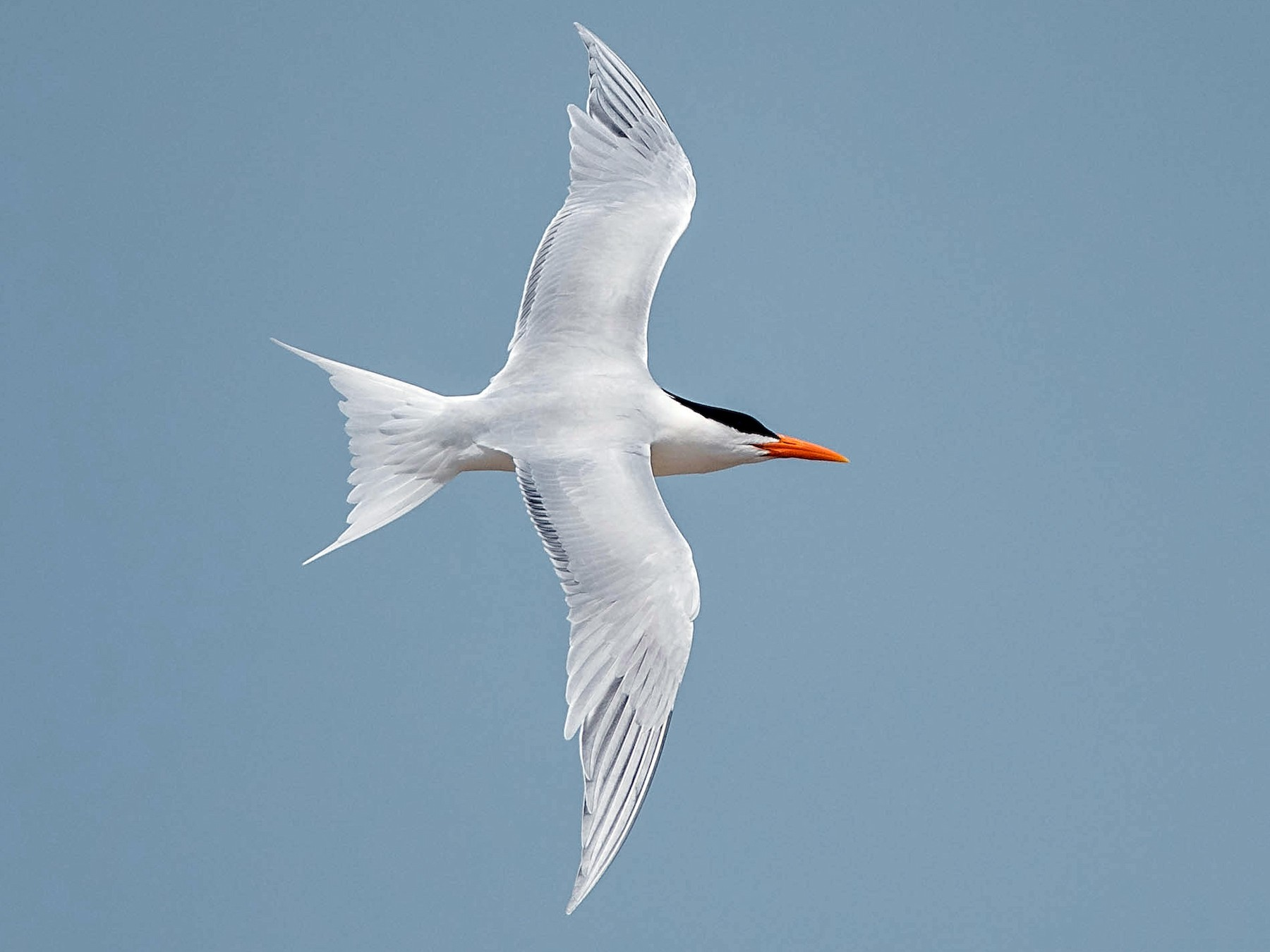 Royal Tern - Mary Catherine Miguez