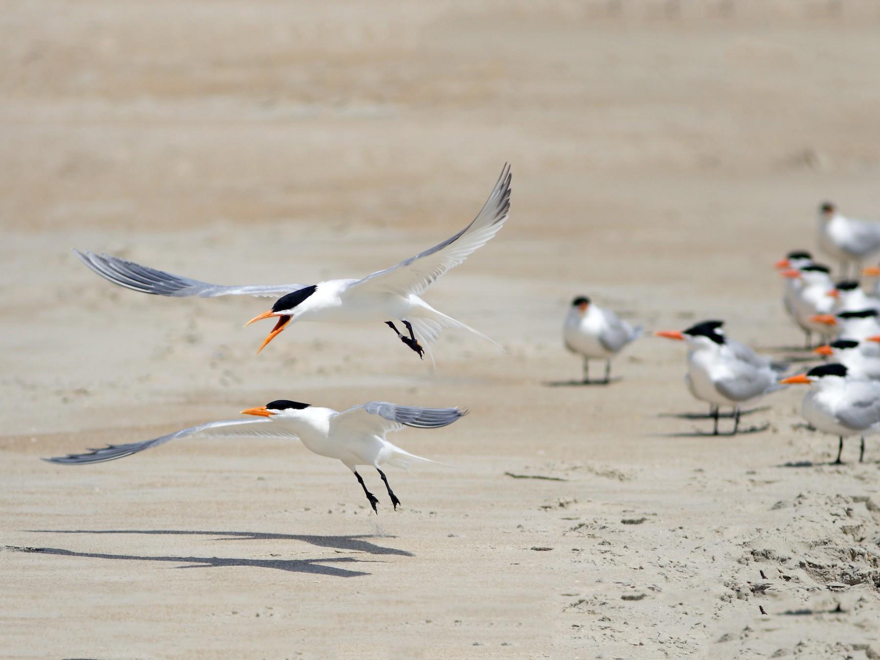 Royal Tern - Dave Spier