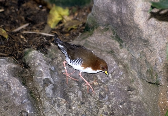 Red-and-white Crake