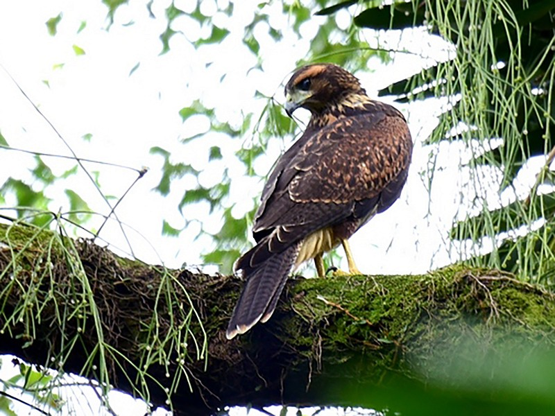 Harris's Hawk - Luiz Moschini