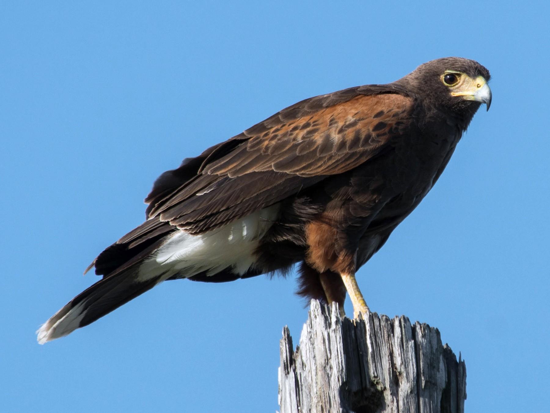 Harris's Hawk - Joshua Little