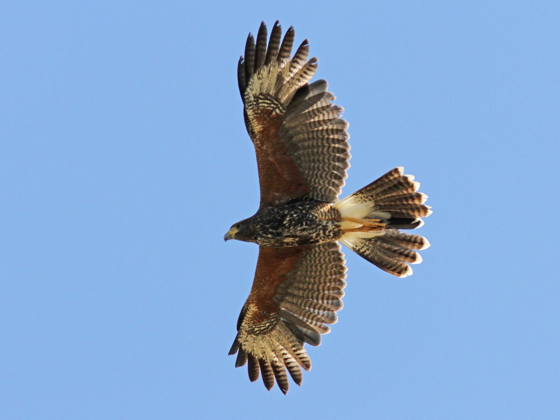 Harris's Hawk - Sean Fitzgerald