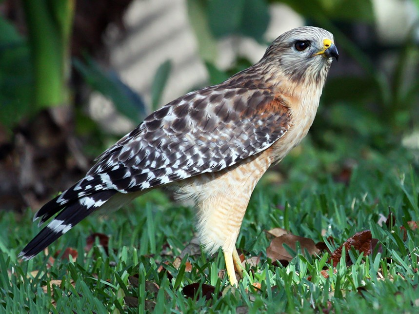 Red-shouldered Hawk - Paul Hueber