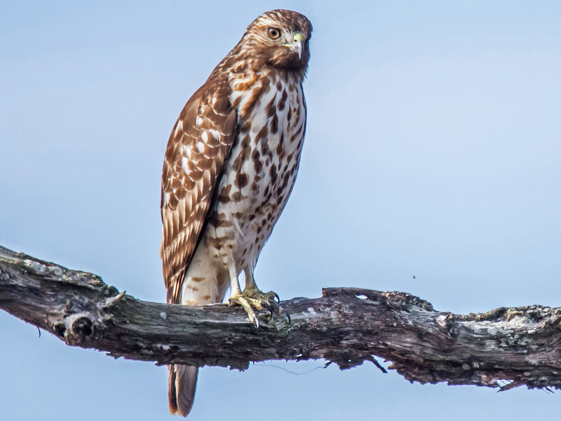 Red-shouldered Hawk - Ed Wransky