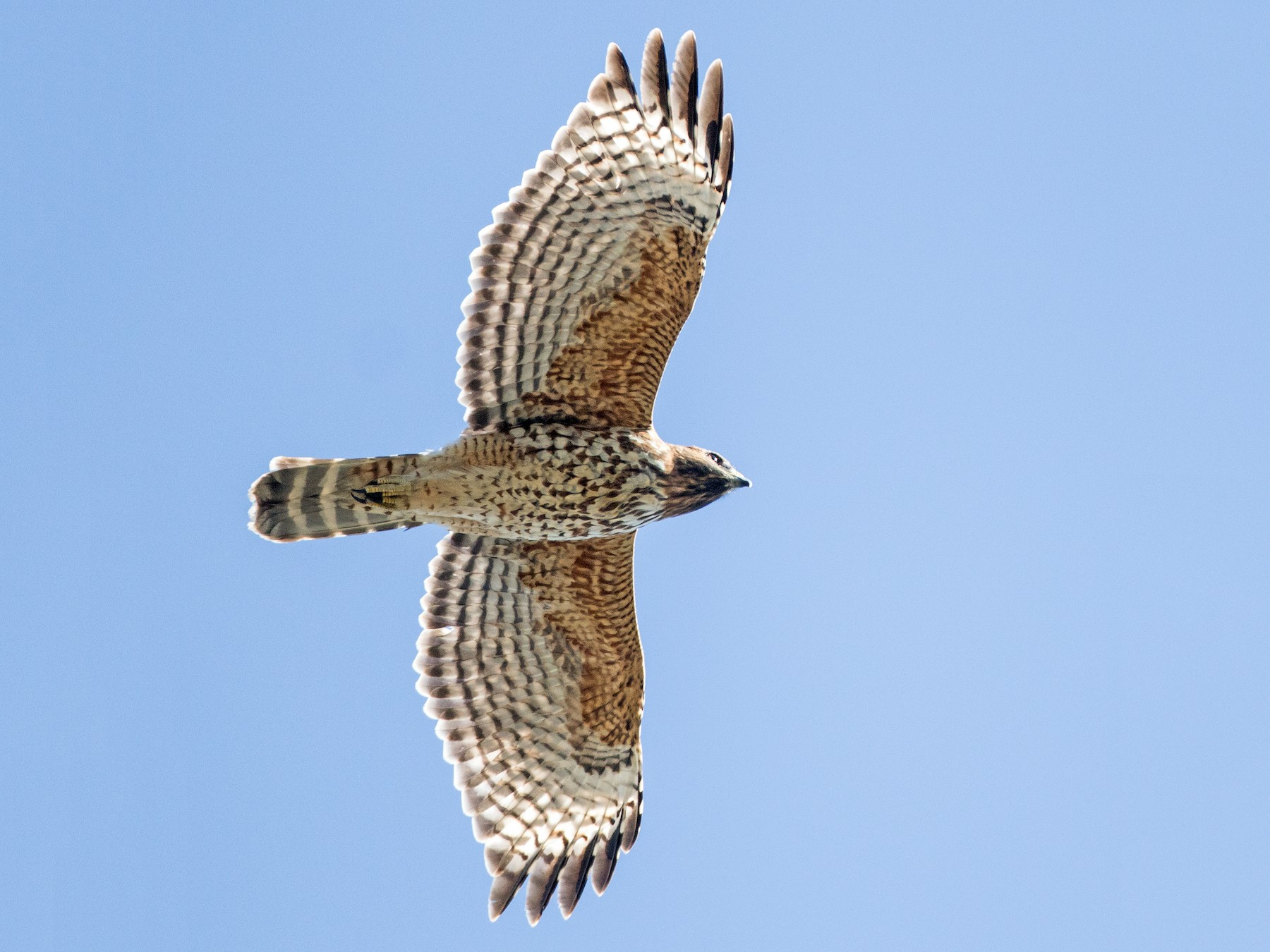 Red-shouldered Hawk - Blake Matheson