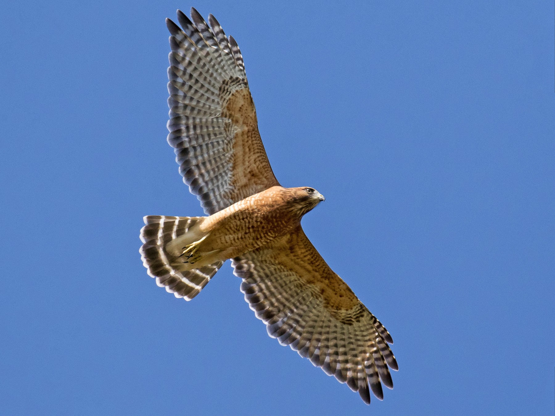 Red-shouldered Hawk - Chris S. Wood