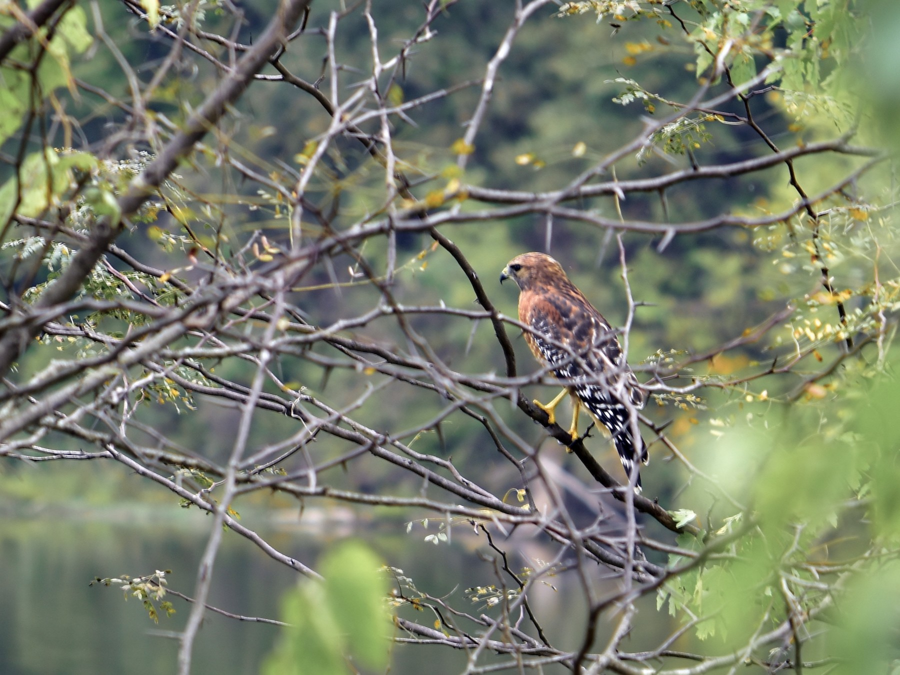 Red-shouldered Hawk - David Rudder