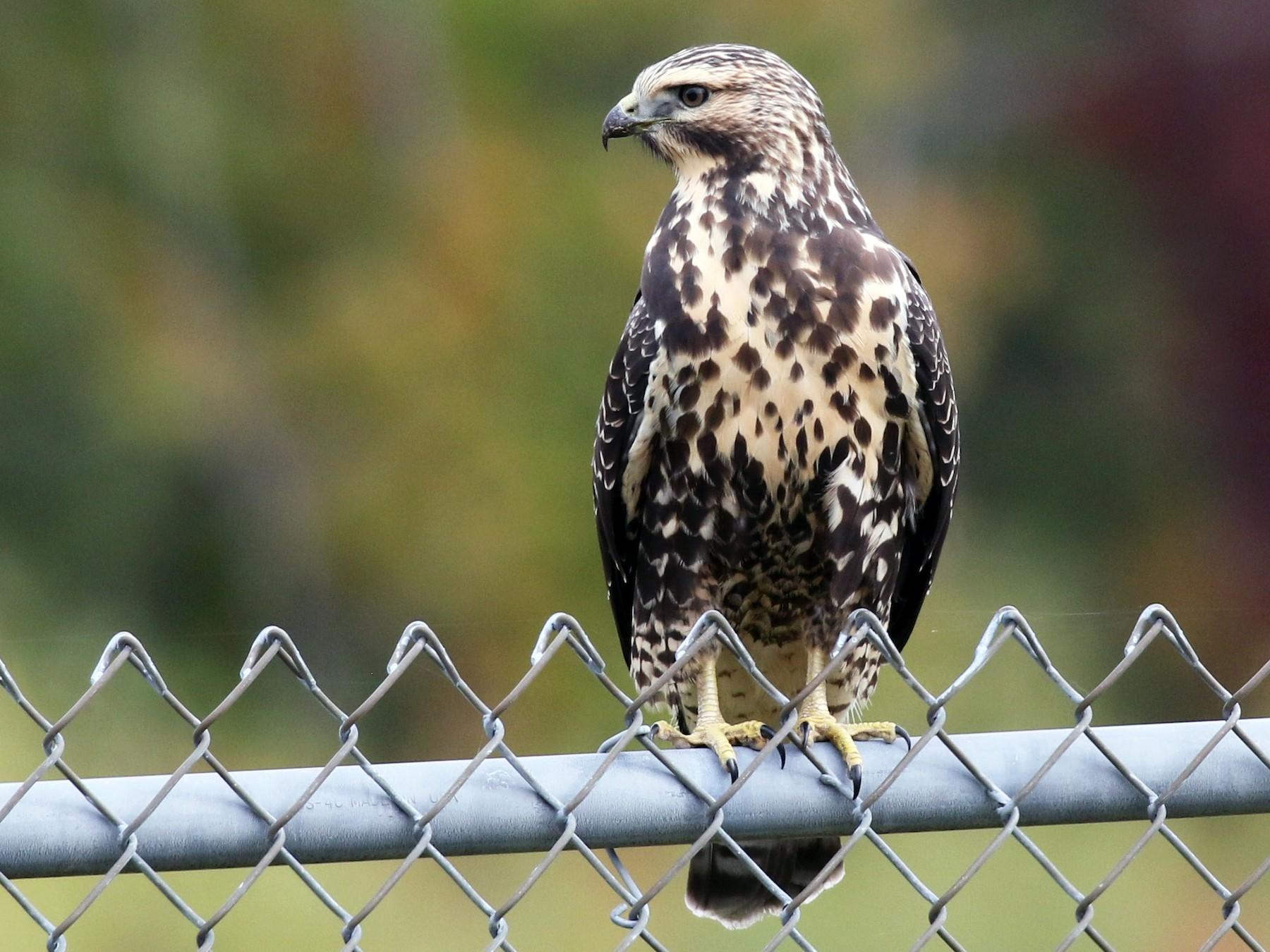 Swainson's Hawk - Margaret Viens