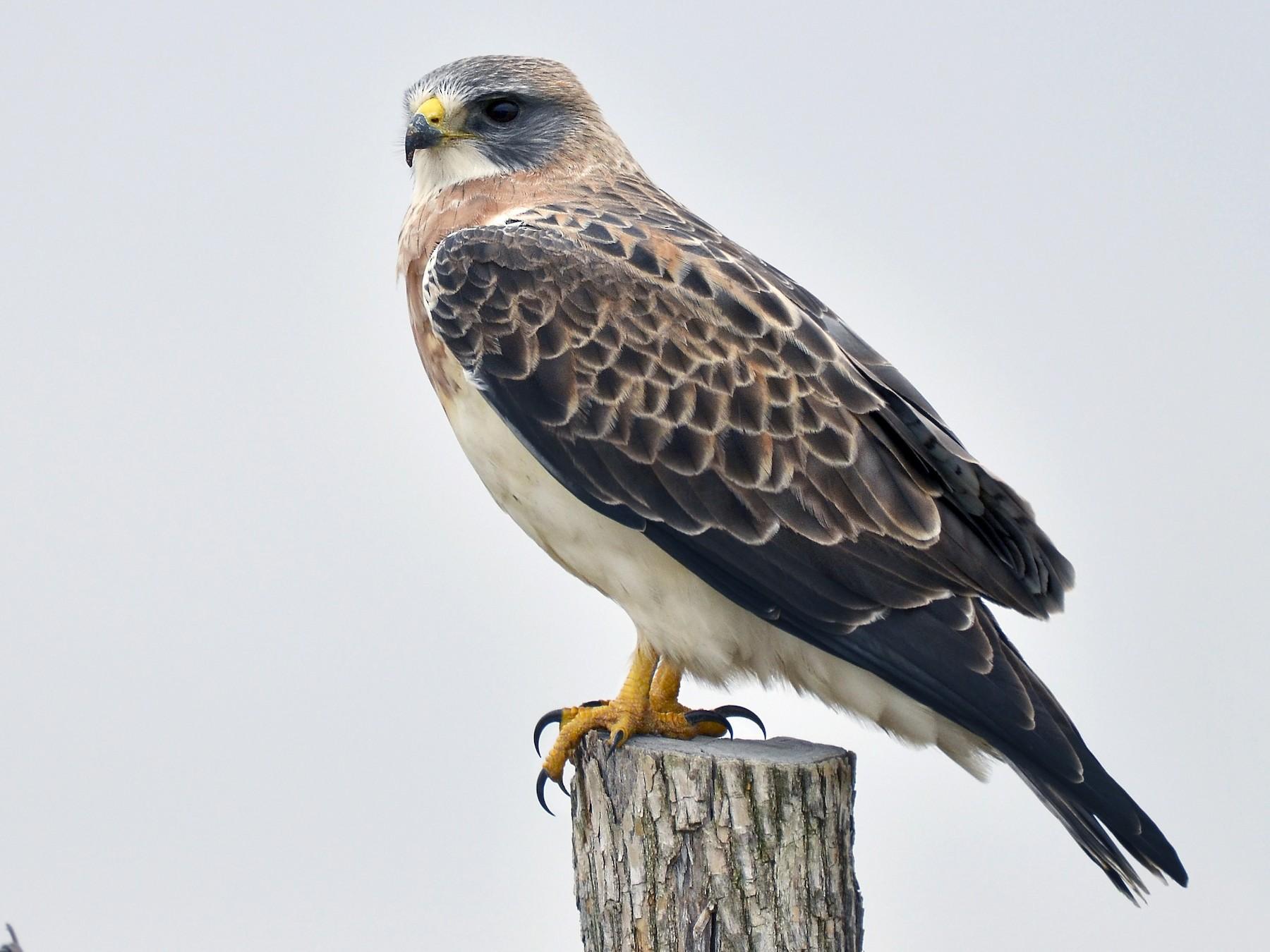 Swainson's Hawk - Malcolm Gold